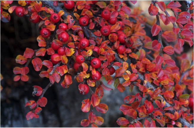Cotoneaster 'cranberry'