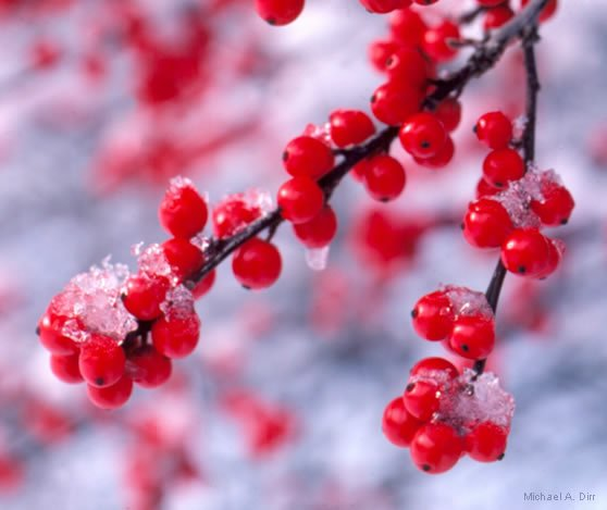 Close up image of red berries covered in ice