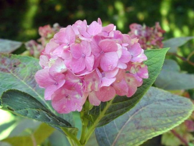 Close up view of pink hydrangeas