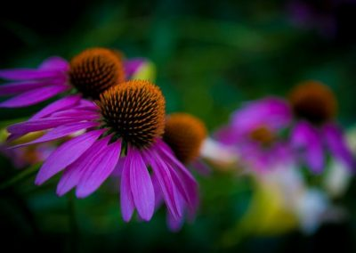 Close up of thee vibrant purple daisy-like flowers