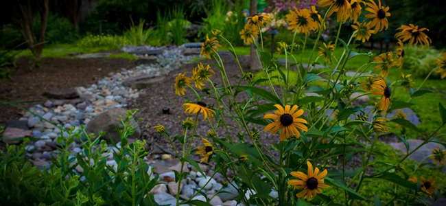 Daisies in front of landscaped backyard